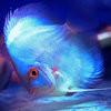 蓝色神仙鱼