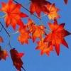 f红色的枫